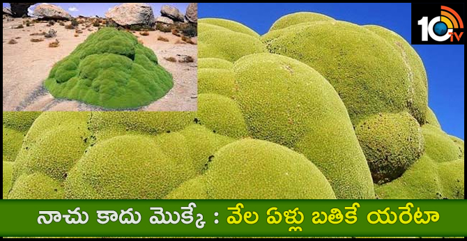 Yerata plant for thousands of years