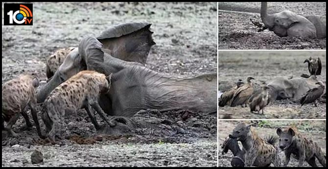 Baby Elephant Stuck In Mud Gets Eaten Alive By Hyenas As Mother Watches Helplessly