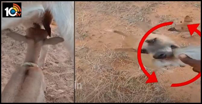 Shepherd Tick Talk Video with Wild creatures