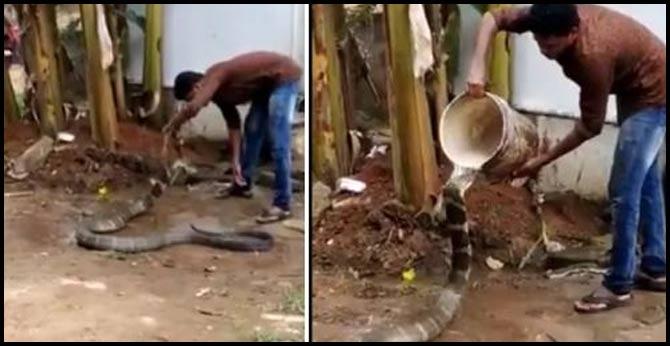 Hair-Raising Video Shows Man 'Bathing' Huge King Cobra