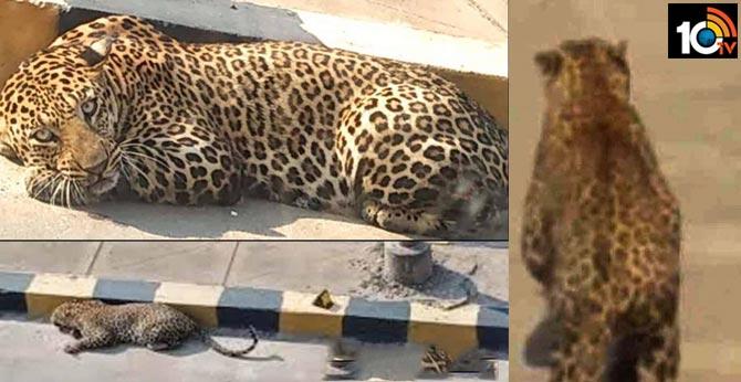 operation cheetah, leopard escapes