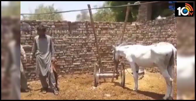 Donkey arrested for participating in a gambling racing in Rahim Yar Khan