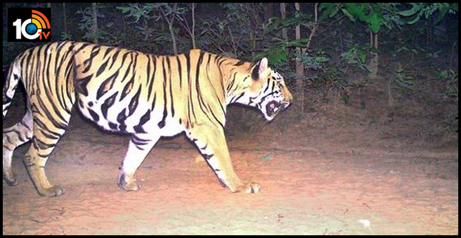 tiger wandering in manchiryala district Once again