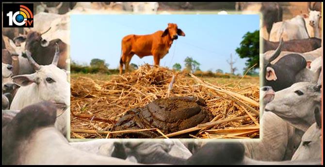 cow-dug