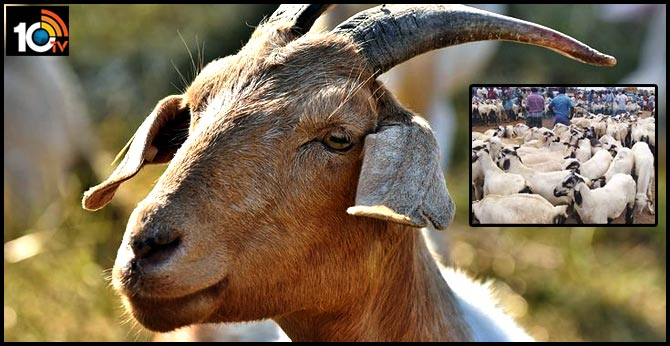 sheep-goat