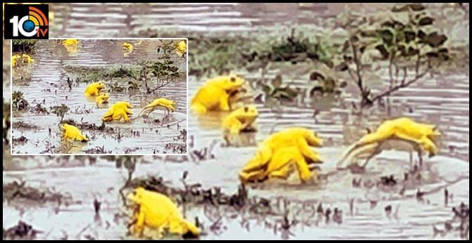 మధ్యప్రదేశ్లో కనువిందు చేస్తున్న 'గోల్డెన్ ఫ్రాగ్స్'..చాలా ఏళ్లకు కనిపించాయంటున్న సైంటిస్టులు