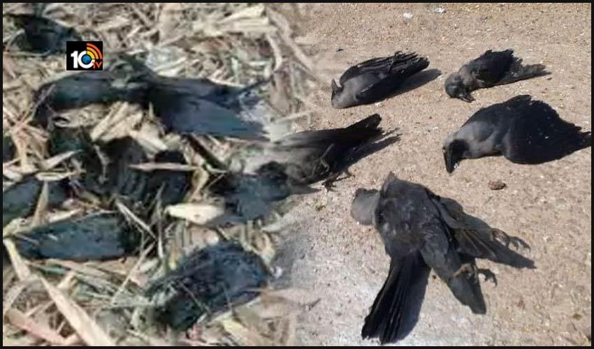 రాజస్థాన్ లో ఏవియన్ ఫ్లూ, భారీ సంఖ్యలో చనిపోతున్న కాకులు