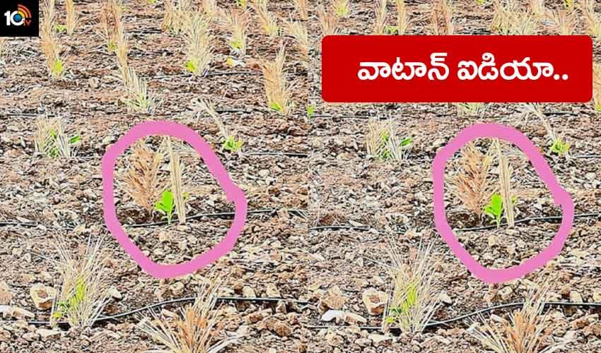 Farmer Idea : ఎండ పడకుండా అరటిమొక్కకు గొడుగు.. రైతు ఐడియా అదుర్స్