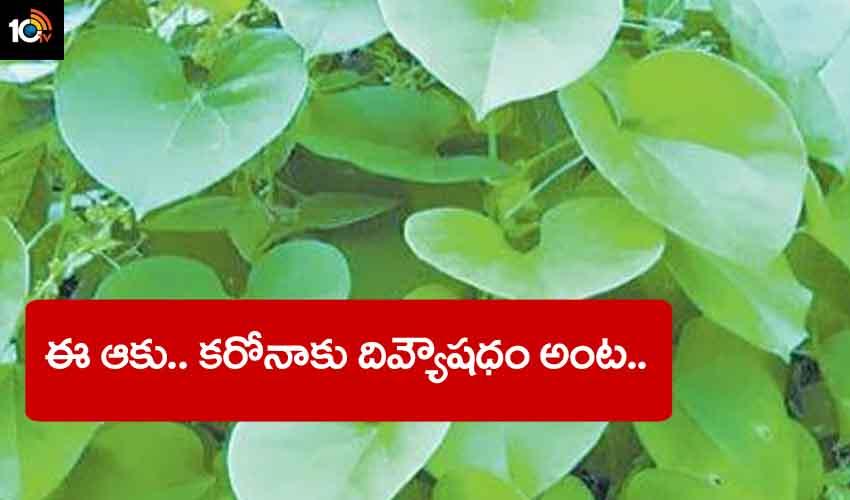 పొదల్లో కనిపించే ఈ ఆకు.. కరోనాకు దివ్యౌషధం అంట..