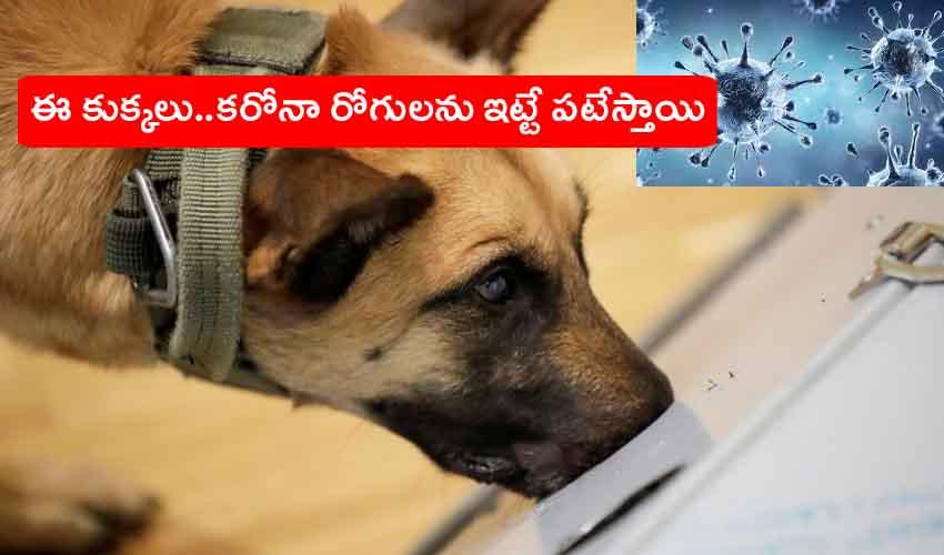 Dogs Sniff Out Covid : ఈ కుక్కలు.. కరోనాను బాధితులను ఇట్టే పట్టేస్తాయి