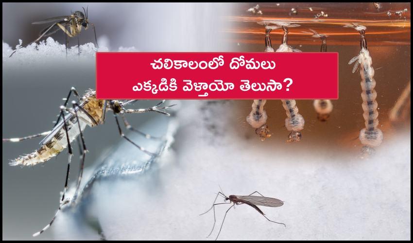 Mosquitos Winter Dipause: చలికాలంలో దోమలు ఎక్కడికి వెళ్తాయో తెలుసా?