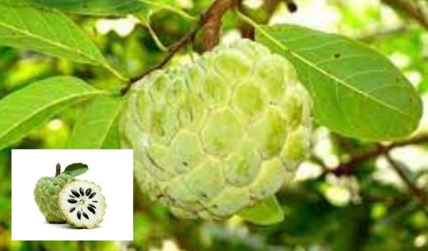Custard apple : మధుర ఫలం..సీతాఫలం