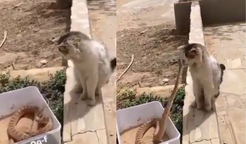 Snake Vs Cat : పాము దాడిలో తెలివిగా తప్పించుకున్న పిల్లి… వైరల్ గా మారిన వీడియో