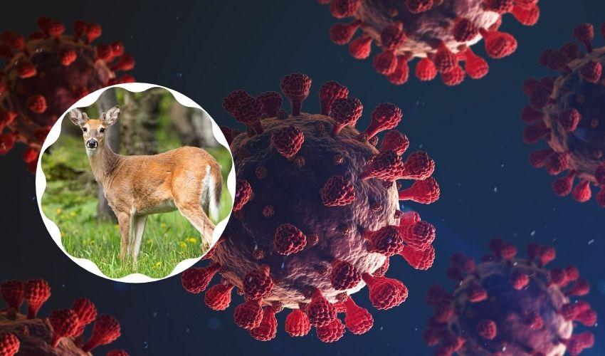Covid in Deer: అడవుల్లో తిరిగే జింకలో కొవిడ్ యాంటీబాడీలు.. సైంటిస్టుల్లో ఆందోళన