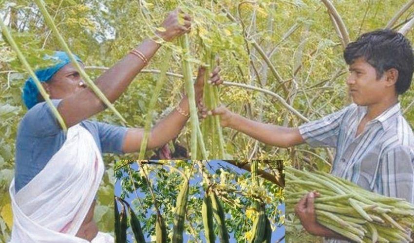 Drumstick Farming : మునగసాగులో అధిక దిగుబడినిచ్చే రకాలు ఇవే…