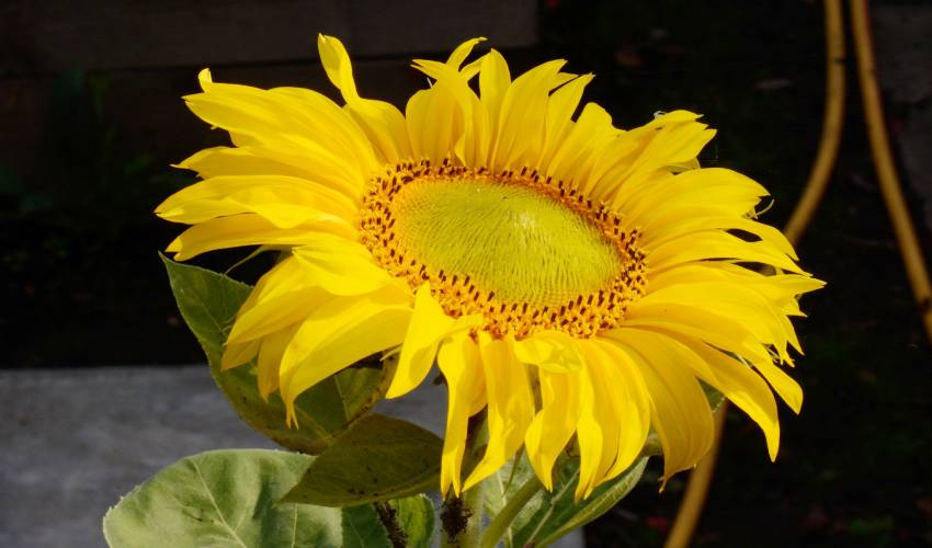 Sunflowers Face East : పొద్దుతిరుగుడు పూలు ఎప్పుడూ తూర్పునే ఎందుకు చూస్తాయంటే?