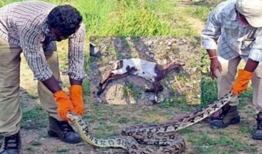 Python Snake : మేకను మింగి… కక్కలేక.. మింగలేక