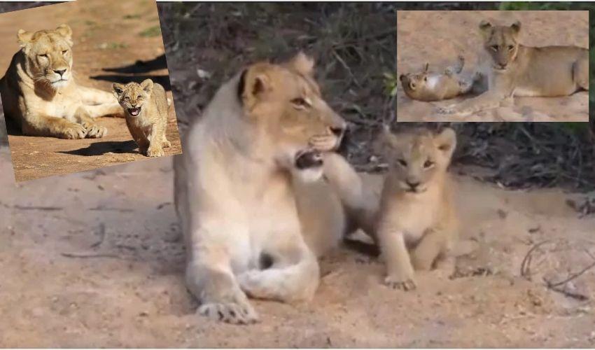 Cute video : తల్లితో సింహం పిల్ల ఆటలు..ఫిదా అయిపోతున్న నెటిజన్లు