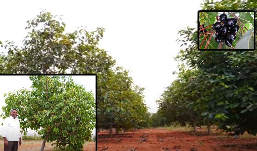 Allaneredu : తక్కువ పెట్టుబడి దీర్ఘకాలిక అదాయం… అల్లనేరేడుసాగులో ప్రకాశం రైతు