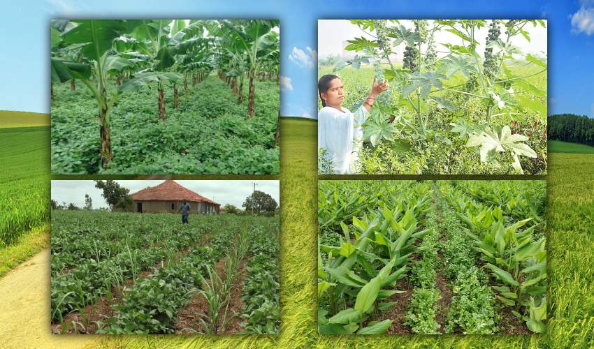 https://10tv.in/agriculture/intercropping-benefits-269772.html