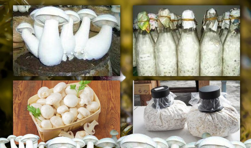 https://10tv.in/agriculture/do-you-know-how-to-make-mushroom-spawn-269814.html
