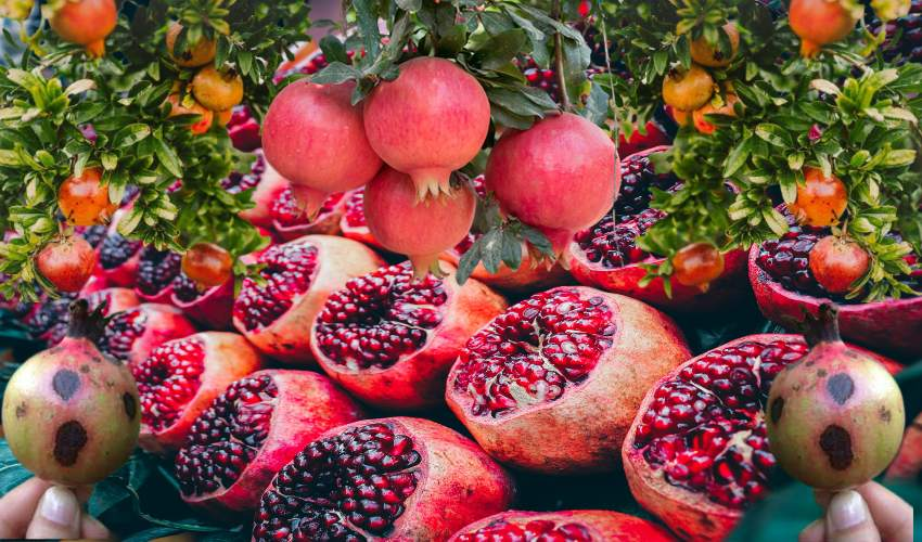 https://10tv.in/agriculture/bacterial-scar-disease-that-plagues-pomegranates-268937.html