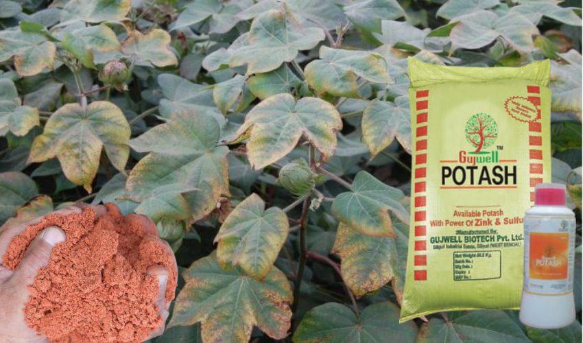 Potash : పంట దిగుబడిలో పొటాష్ అవసరం ఎంత?