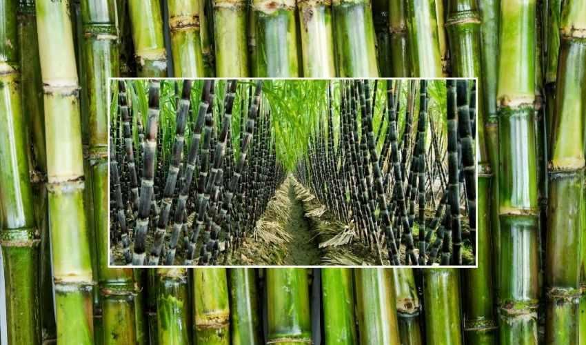 Sugarcane Farming: ప్రకృతి విధానంలో చెరకు సాగు – వచ్చిన దిగుబడులతో బెల్లం తయారీ