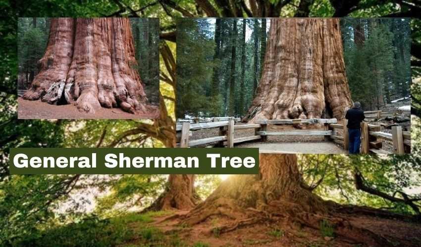 General Sherman tree : 2,300 ఏళ్ల వయస్సున్న భారీ వృక్షానికి అల్యూమినియం కవర్