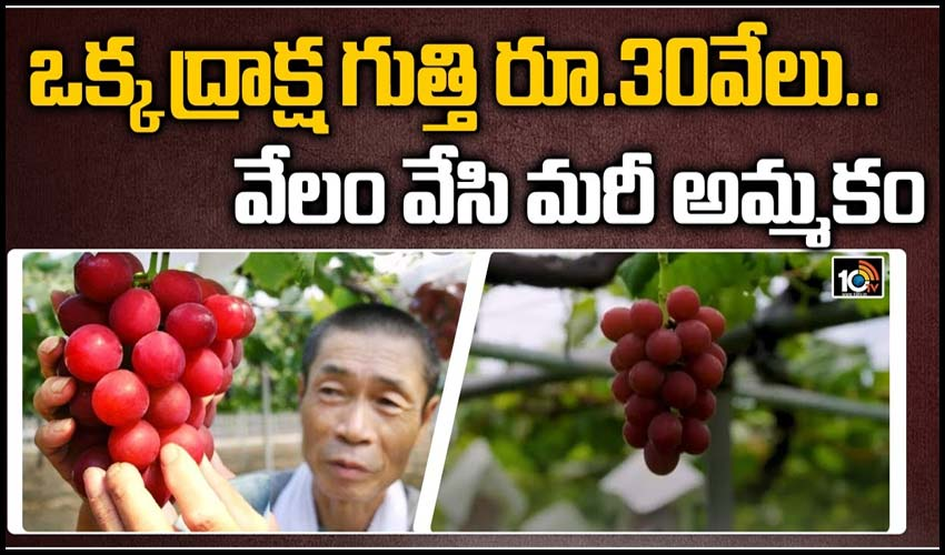 https://10tv.in/exclusive-videos/japanese-grapes-can-cost-up-to-rs-30000-per-piece-2-280142.html