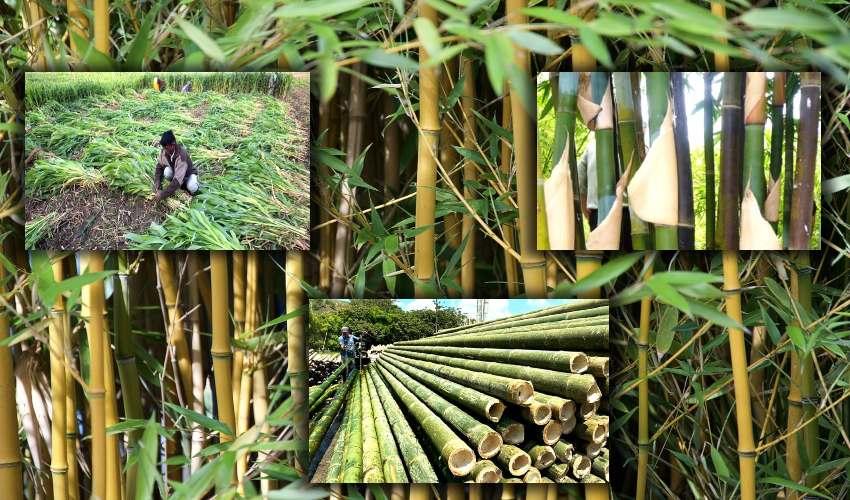 Bamboo Plants : ఎకరం భూమి..7ఏళ్ళలో 17లక్షల అదాయం.. ఆరైతు ఏం పండించాడంటే?..