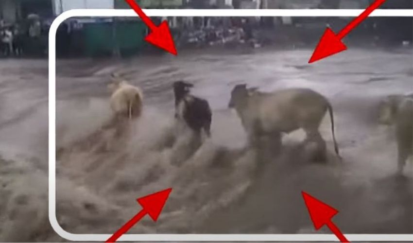 Rains In Maharashtra : మహారాష్ట్రలో వర్షం బీభత్సం..వరదల్లో కొట్టుకుపోయిన ఆవులు
