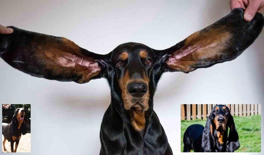 Dog Ears: టిఫిన్ ప్లేట్ సైజులో కుక్క చెవులు.. గిన్నీస్ వరల్డ్ ఆఫ్ రికార్డ్