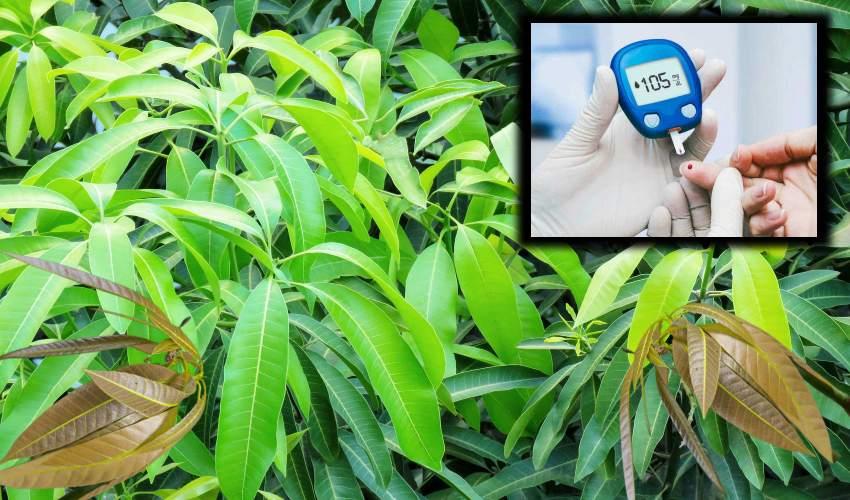 Mango Leaves :  షుగర్ లెవల్స్ తగ్గించే మామిడాకులు…ఎలా ఉపయోగించాలో తెలుసా?..