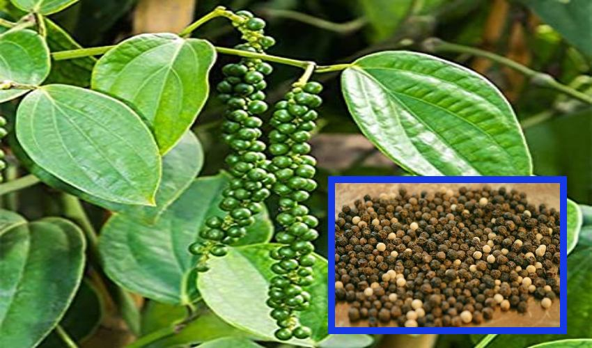 https://10tv.in/agriculture/cultivation-of-pepper-as-a-source-of-income-in-visakhapatnam-271705.html