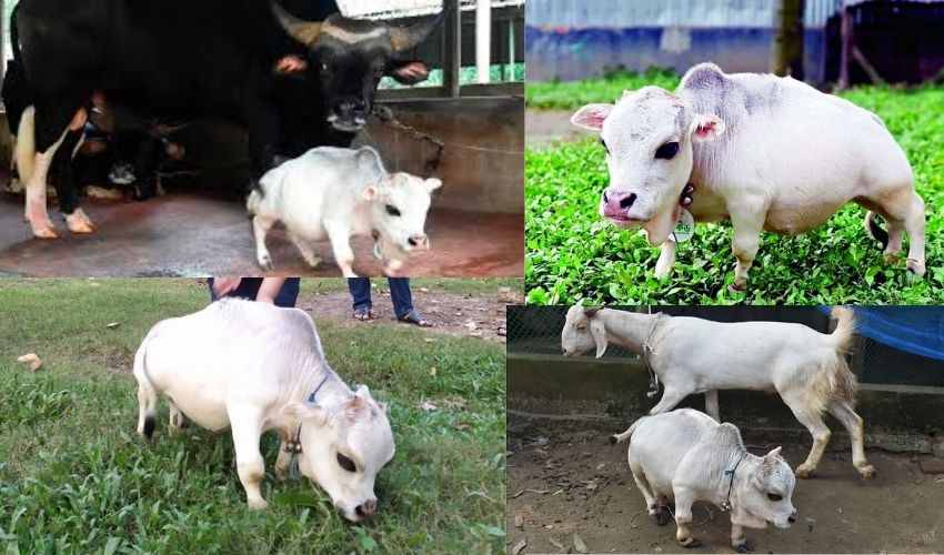 shortest cow Rani Died : ప్రపంచంలోనే అత్యంత పొట్టి ఆవు 'రాణి' మృతి