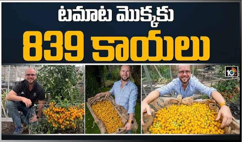 https://10tv.in/videos/british-gardner-harvests-839-tomatoes-from-a-single-stem-279753.html