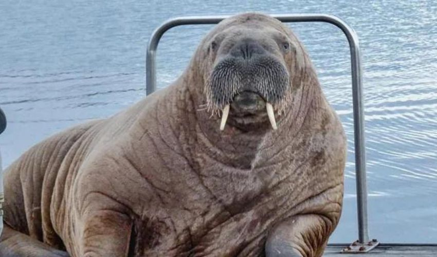 https://10tv.in/international/wally-the-celebrity-walrus-swims-4000-km-turns-up-in-iceland-281020.html