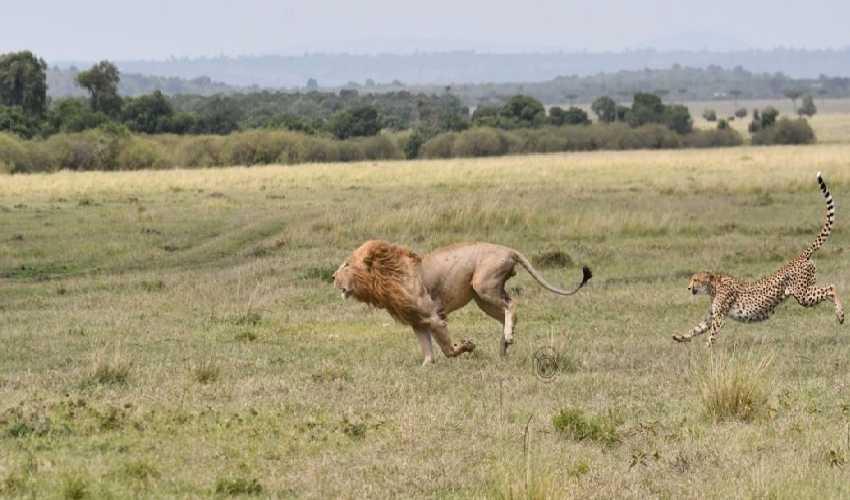 https://10tv.in/international/courageous-cheetah-mother-attack-330-pounds-male-lion-in-kenya-masai-mara-national-park-295132.html