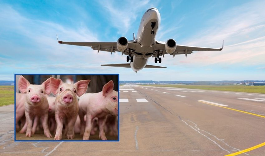 https://10tv.in/international/europes-airports-recruits-pigs-to-scare-away-marauding-geese-293512.html