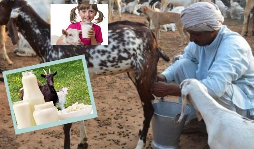 https://10tv.in/national/the-price-of-a-liter-of-goat-milk-is-rs-400-in-madhya-pradesh-296857.html