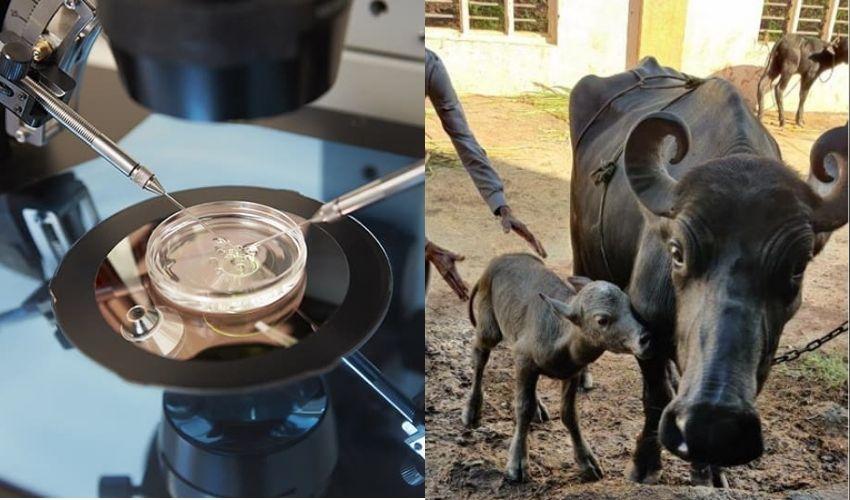 IVF buffalo calf: ఐవీఎఫ్ పద్ధతిలో లేగదూడ.. దేశంలో ఇదే తొలిసారి!