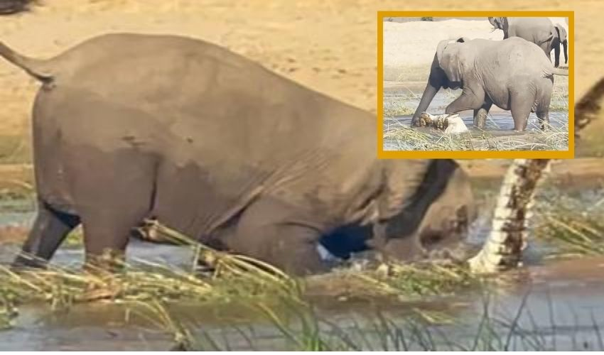 https://10tv.in/international/viral-video-mother-elephant-kills-crocodile-to-save-her-calf-295658.html