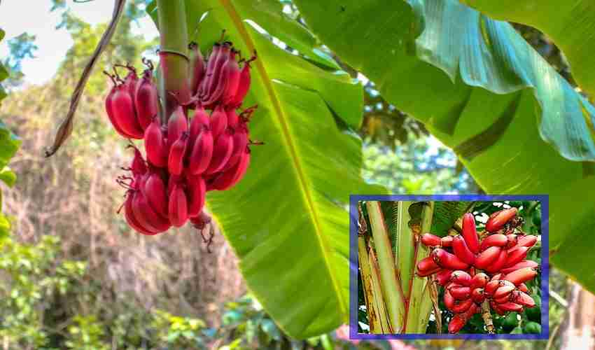 Red Bananas : ఎర్రటి అరటిలో ఆరోగ్య ప్రయోజనాలు మెండు