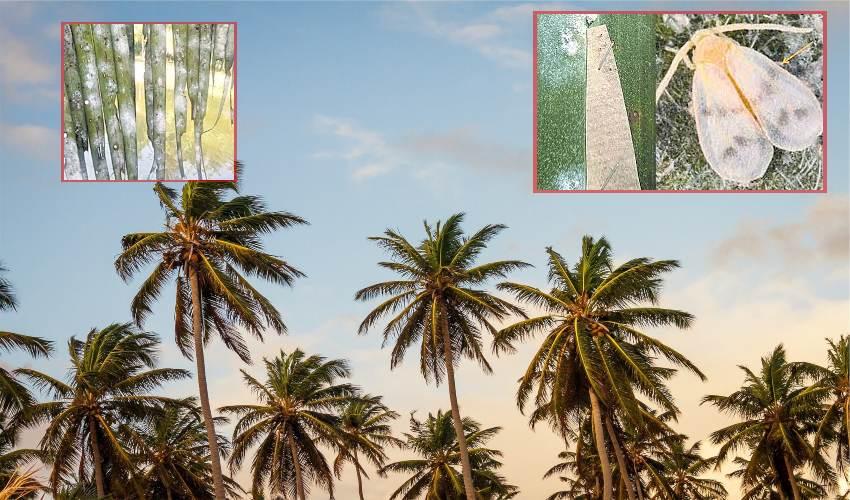 https://10tv.in/agriculture/rugose-white-spot-prevention-in-coconut-and-palm-oil-plantations-294716.html