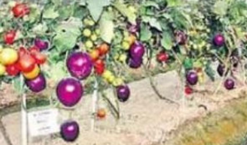 https://10tv.in/national/brinjal-and-tomato-per-plant-288299.html