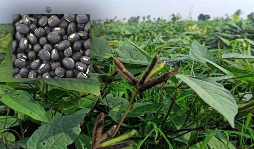 https://10tv.in/agriculture/black-gram-cultivation-pests-ownership-practices-298466.html