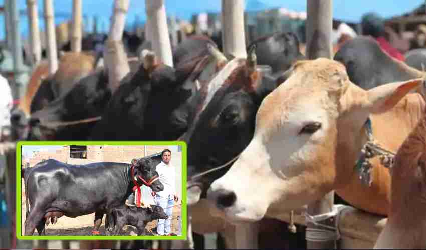 https://10tv.in/agriculture/brucellosis-disease-becoming-dangerous-in-cattle-286494.html
