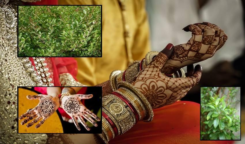 https://10tv.in/agriculture/increased-demand-for-henna-sagudishaga-farming-291030.html