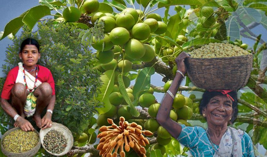 Ippa Puvvu : ఇప్ప చెట్టును నమ్ముకుని… పువ్వులు అమ్ముకుని